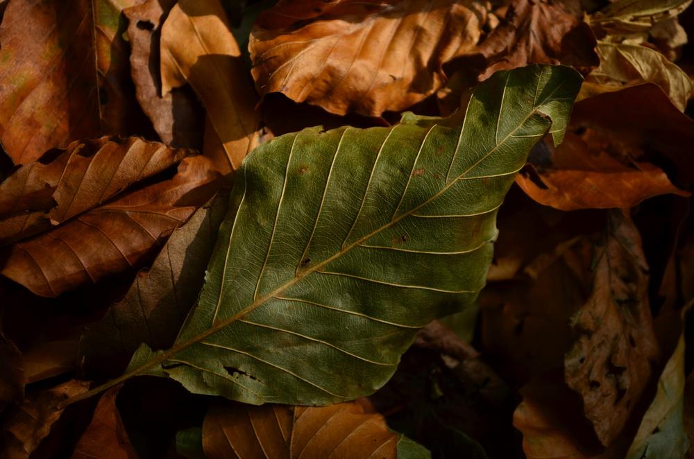 Faggio,  Fagus sylvatica  (Fagaceae)