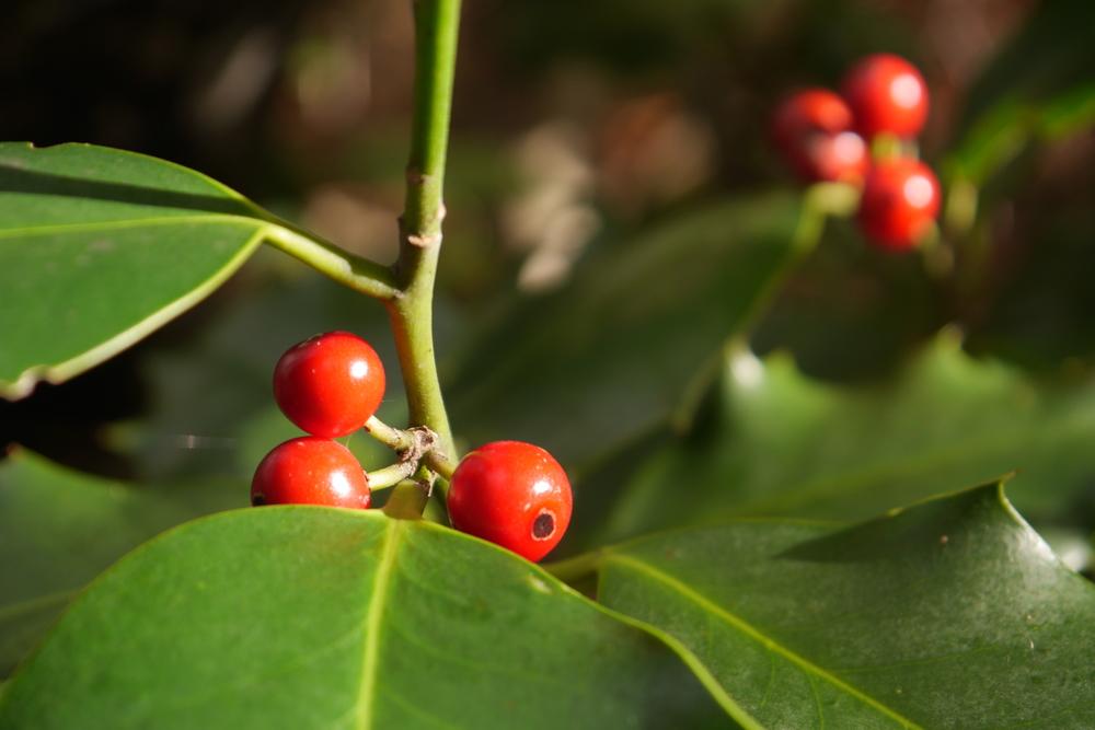 Agrifolio,  Ilex aquifolium  (Aquifoliaceae)