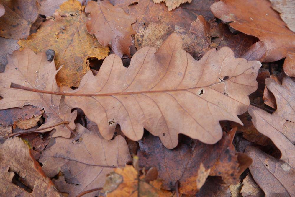 Rovere,  Quercus petracea  (Fagaceae)