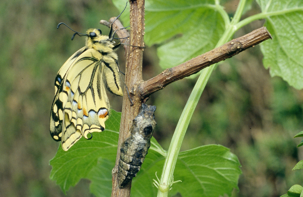 Machaon_metamorphose_7.jpg
