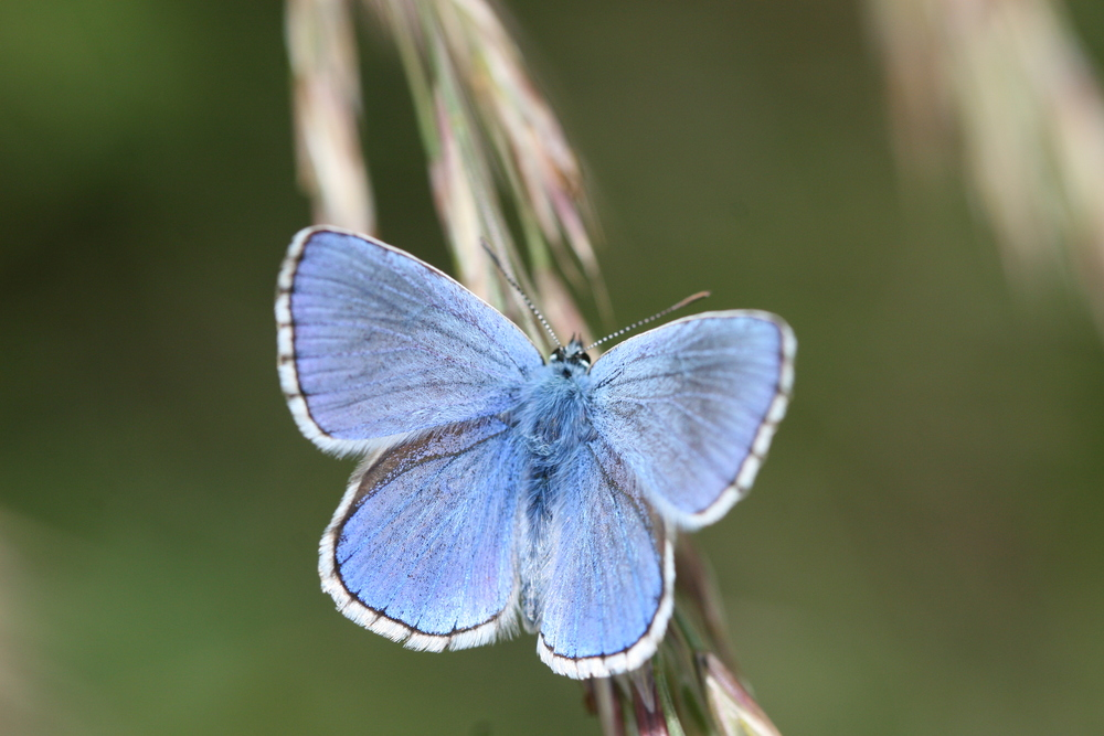 Polyommatus bellargus Wiese Annina3.JPG