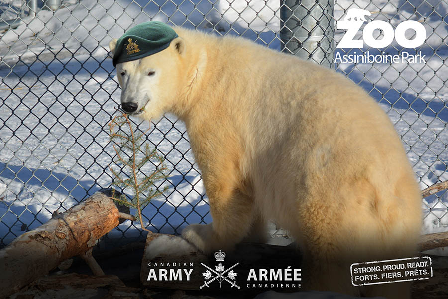 Honorary Corporal Juno, the Canadian Army's adopted polar bear, in her quarters at the Assiniboine Park Zoo in Winnipeg, Manitoba in February 2018. As of March, HCpl Juno successfully completed one year of Operation SOCIALIZATION, a mission intended to familiarize her with other polar bears. Graphic: Joanna Gajdicar, Army Public Affairs.