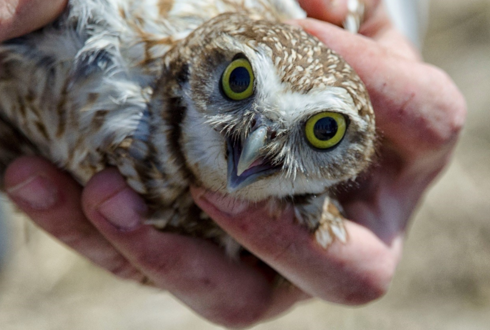 Burrowing owls are tiny, weighing approximately 160 grams. They are an endangered species and there may be as few as 400 female/male pairs remaining in Canada, according to Environment Climate Change Canada. Photo credit: Warrant Officer Derrick Steeves