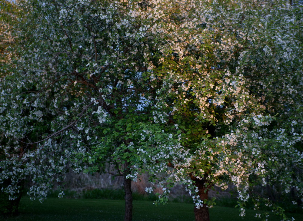 pipcreek apple blossoms gathering