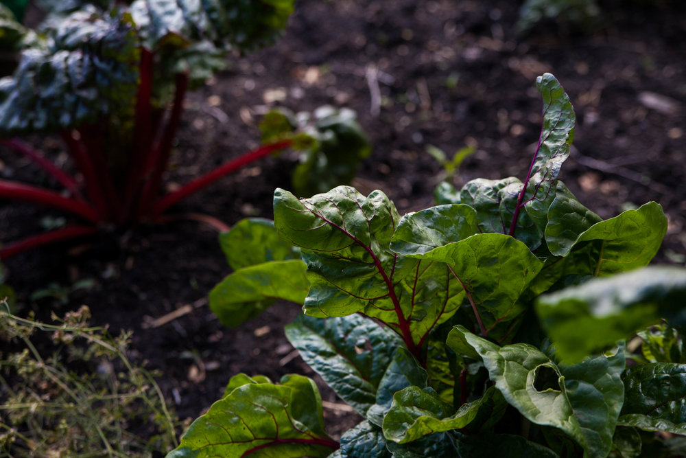 swiss chard kitchen garden