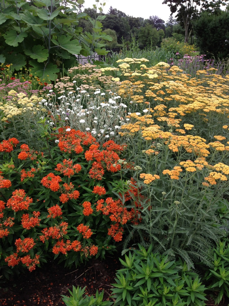 Summer Garden perennial display of asclepsias (butterfly weed), macleaya (plume poppy), yarrow, rose campion