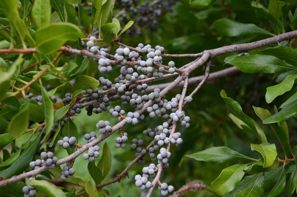 Myrica Pensylvania (Bayberry) fruit Hillside