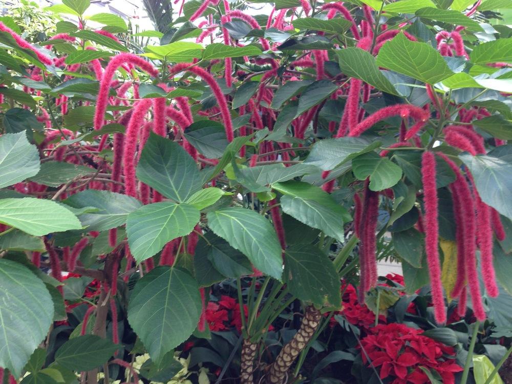 Chenille plant
