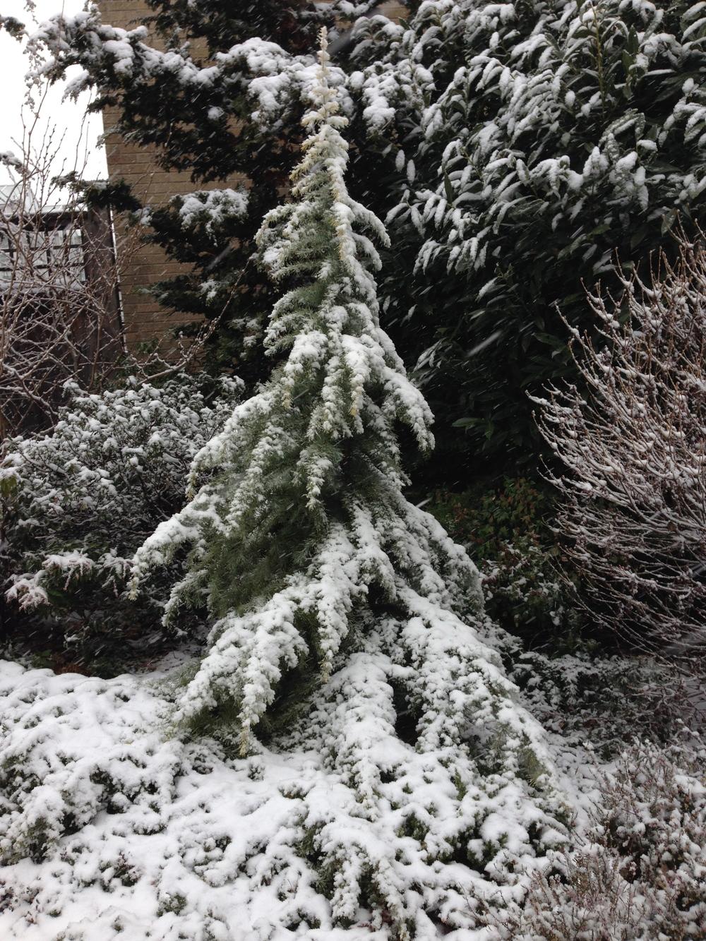Cedar deodara_1.jpg