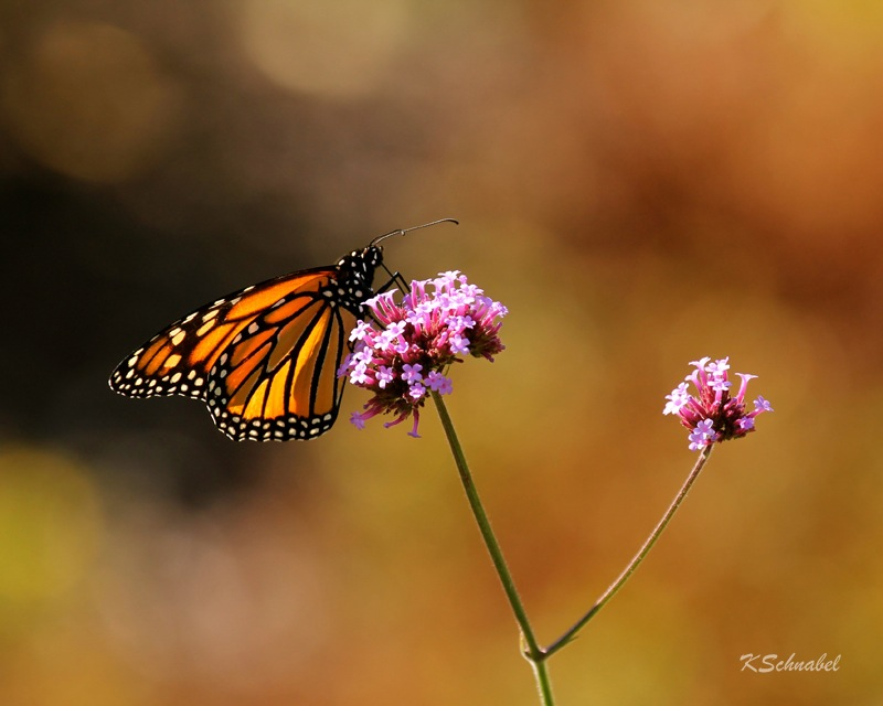 Monarch Butterfly foraging on Verbena