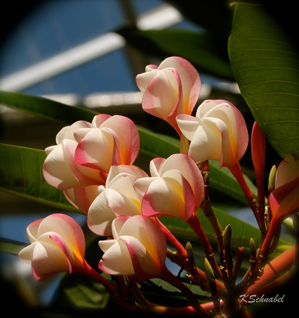 'Beauty' White Frangipani Tree -Plumeria alba