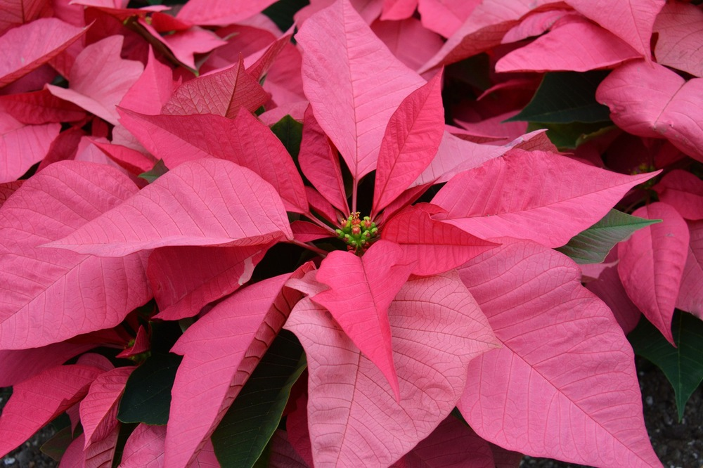 Poinsettia- salmon