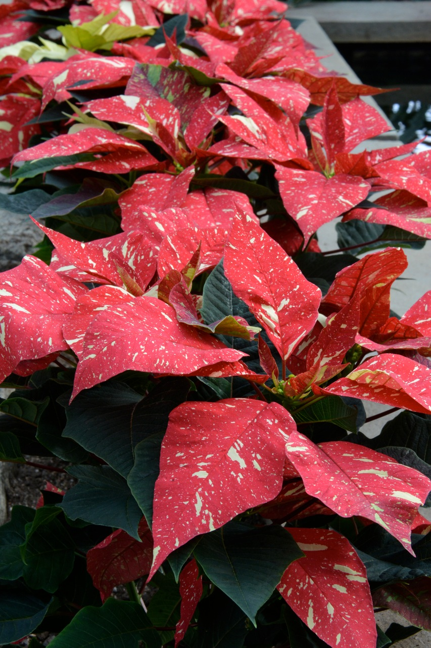 Poinsettia-Sparkle
