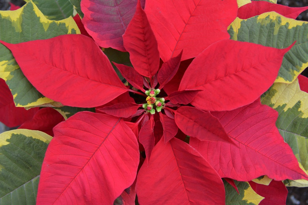 Poinsettia-Tapestry