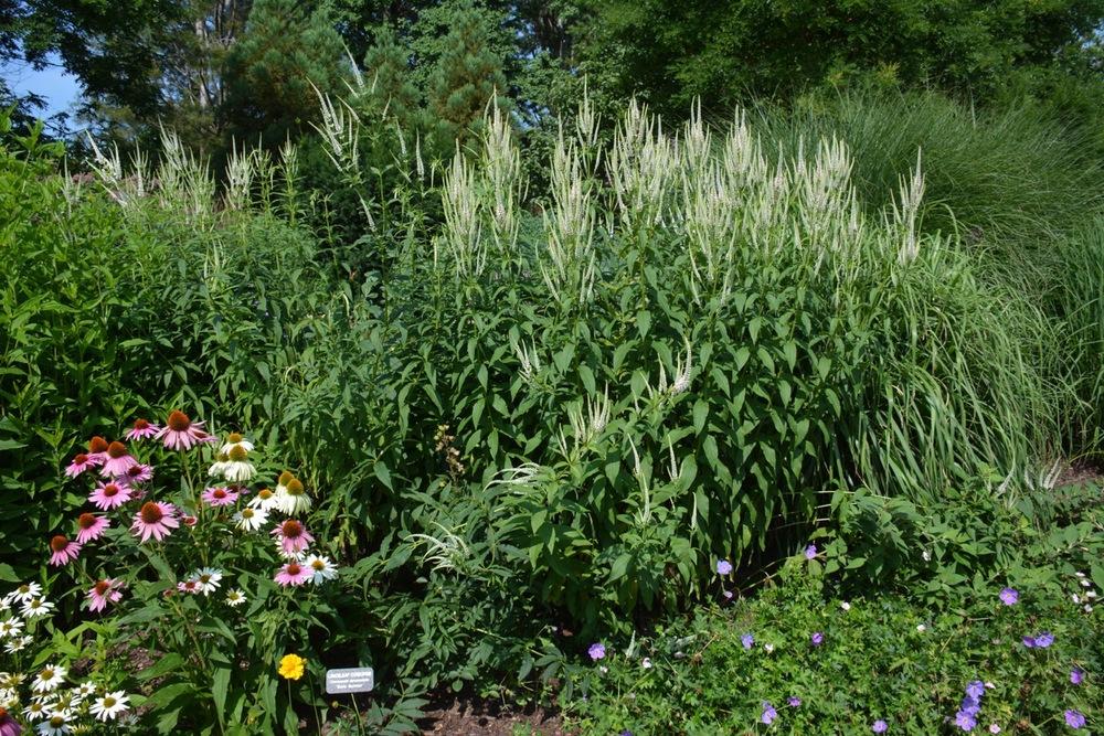 Culver's Root, Veronicastrum virgicum