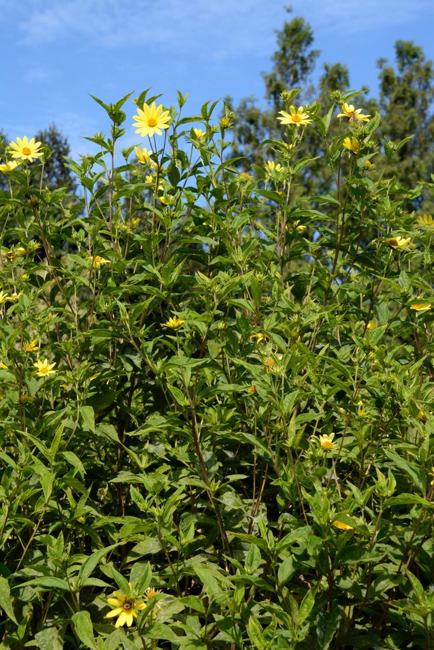 Helianthus, Lemon Queen