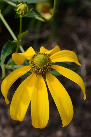 Rudbeckia x 'Herbstsonne'