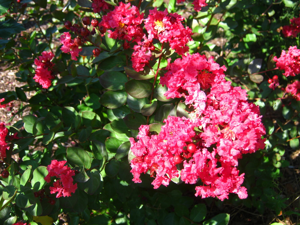 Lagerstroemia indica 'Red Filli'    Dwarf Crapemyrtle 'Red Filli'