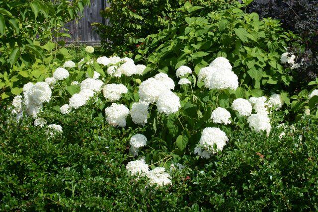 Hydrangea arborescens 'Annabelle'   Smooth Hydrangea 'Annabelle'  NATIVE