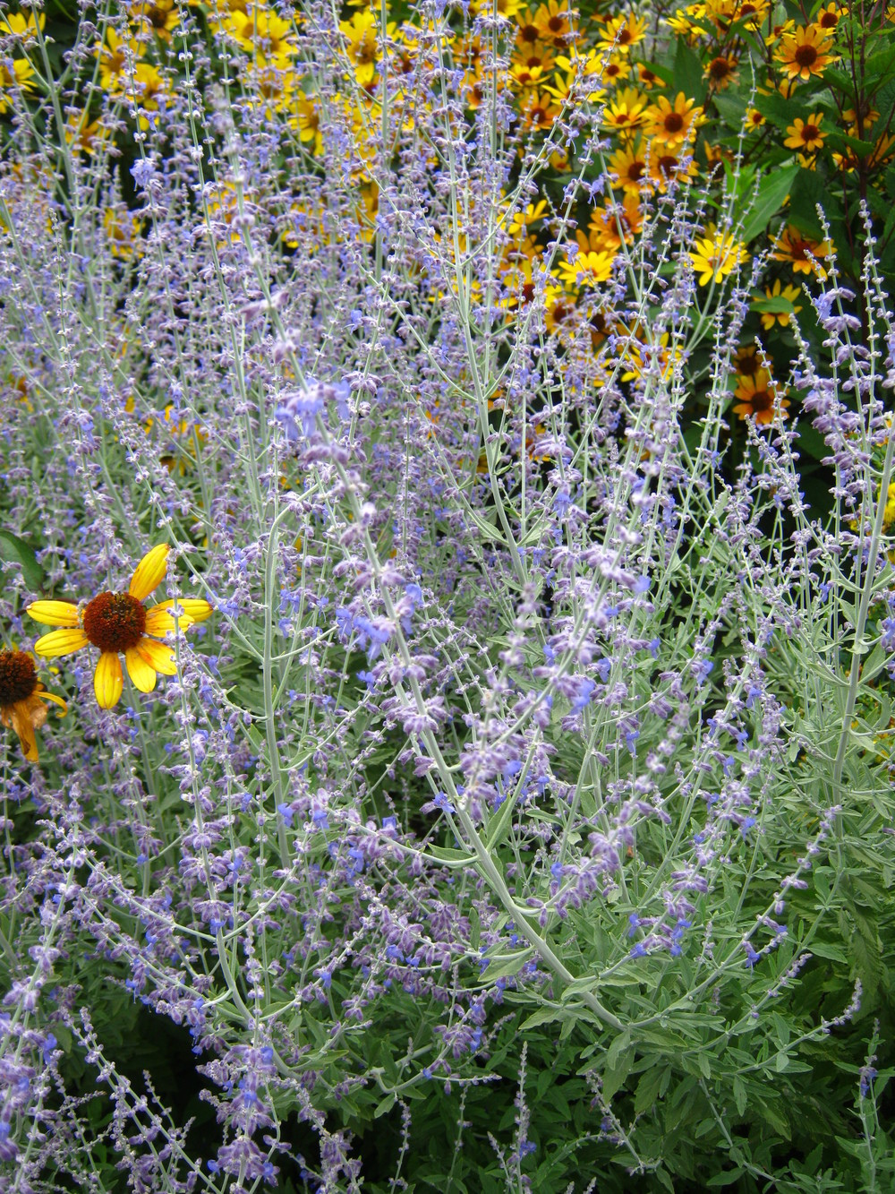 Perovskia atriplicifolia 'Little Spire'  Russian Sage 'Little Spire'