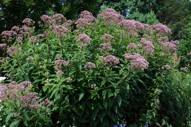 Eutrochium fistulosum 'Gateway'   Joe Pye Weed 'Gateway' NATIVE