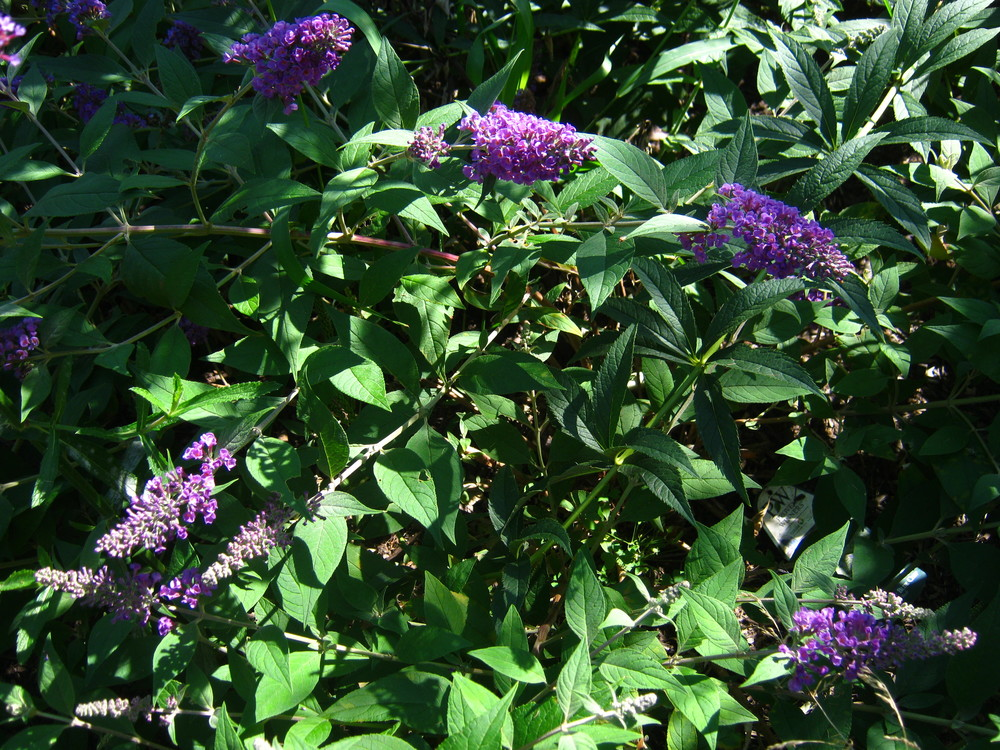 Buddleia davidii 'Blue Chip'  Buddleia 'Blue Chip'