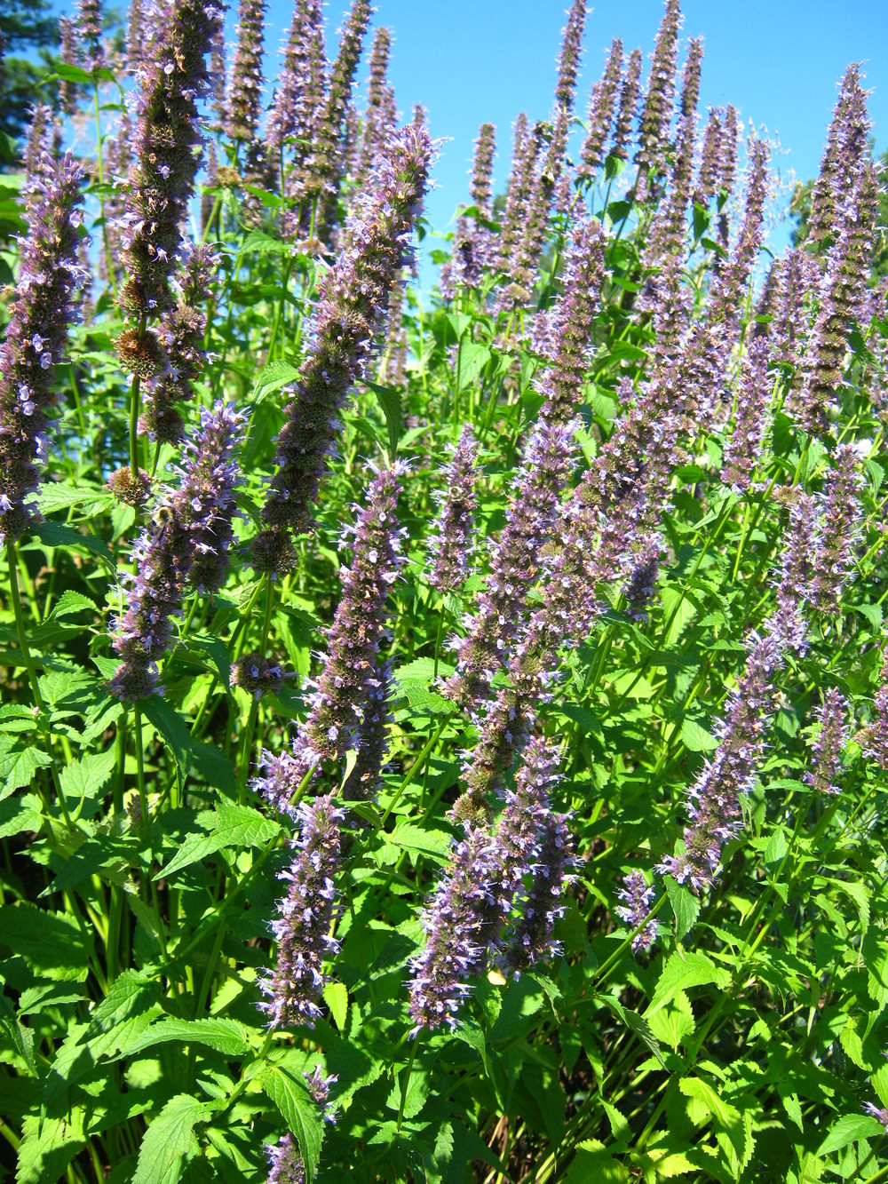 Agastache  'Black Adder'	Giant Hyssop 'Black Adder'