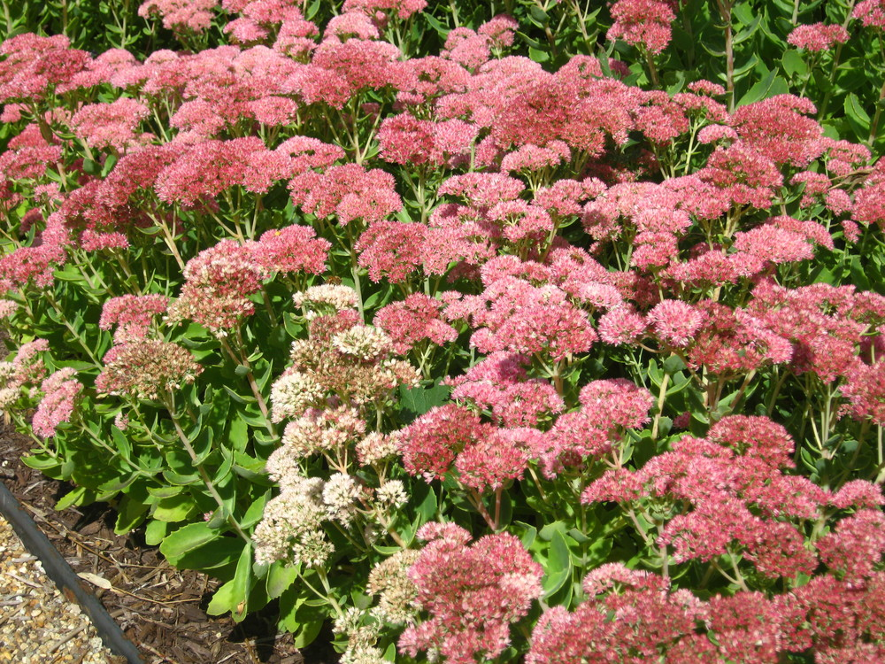 Sedum spectibile 'Autumn Joy'