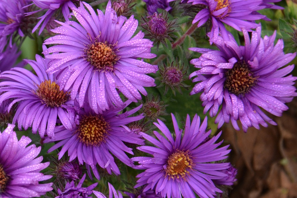 Aster novae-angliae 'Purple Dome' New England Aster NATIVE