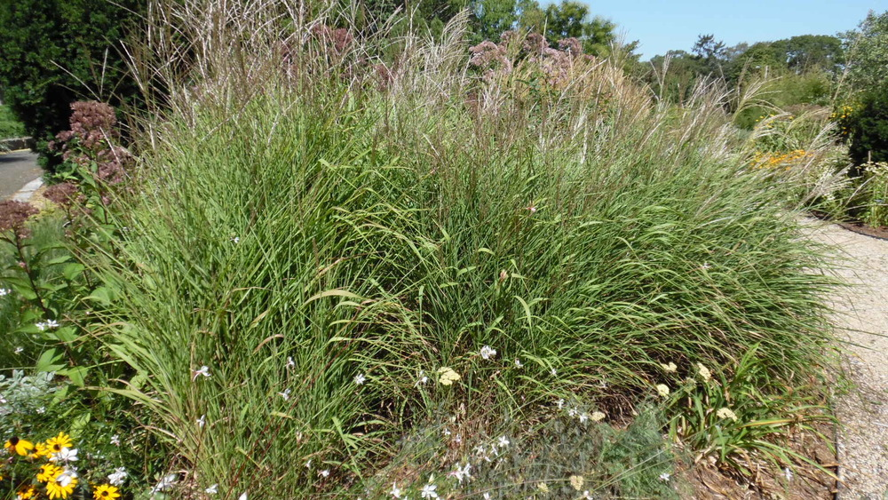 Miscanthus sinensis 'Silberfeder' Silver Feather Grass