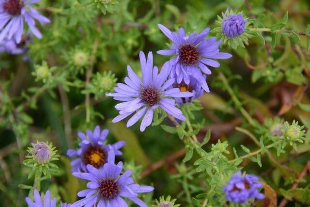 Symphyotrichum oblongifolium 'October Skies' Aromatic Aster NATIVE