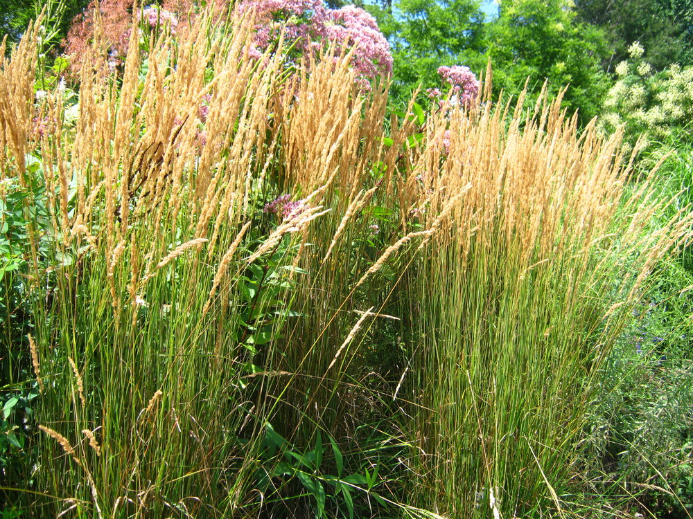 Calamagrostis x acutiflora 'Karl Foerster' Feather Reed Grass