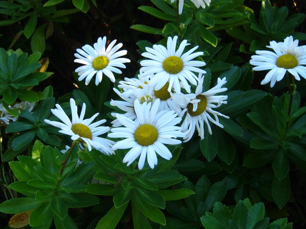 Nipponanthemum nippo nicum  Montauk Daisy
