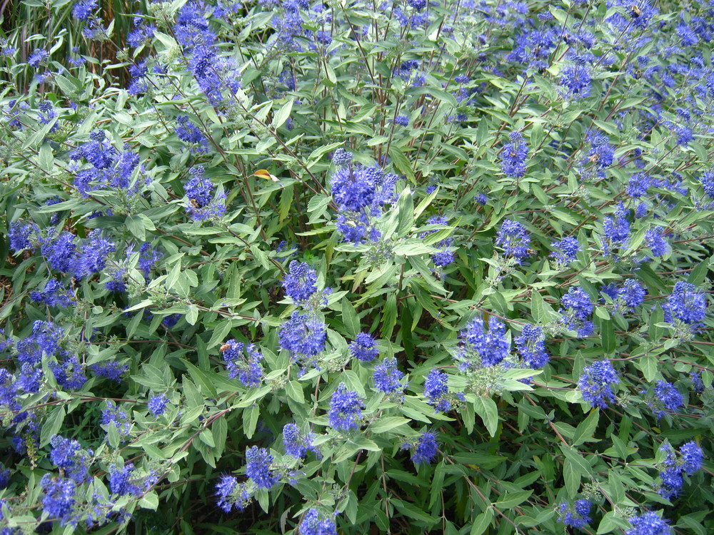 Caryopteris x 'Longwood Blue'