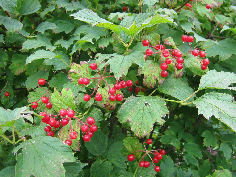Viburnum trilobum American Cranberry fruit NATIVE