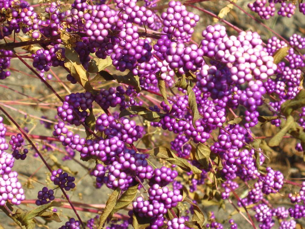 Callicarpa dichotoma Purple Beautyberry fruit
