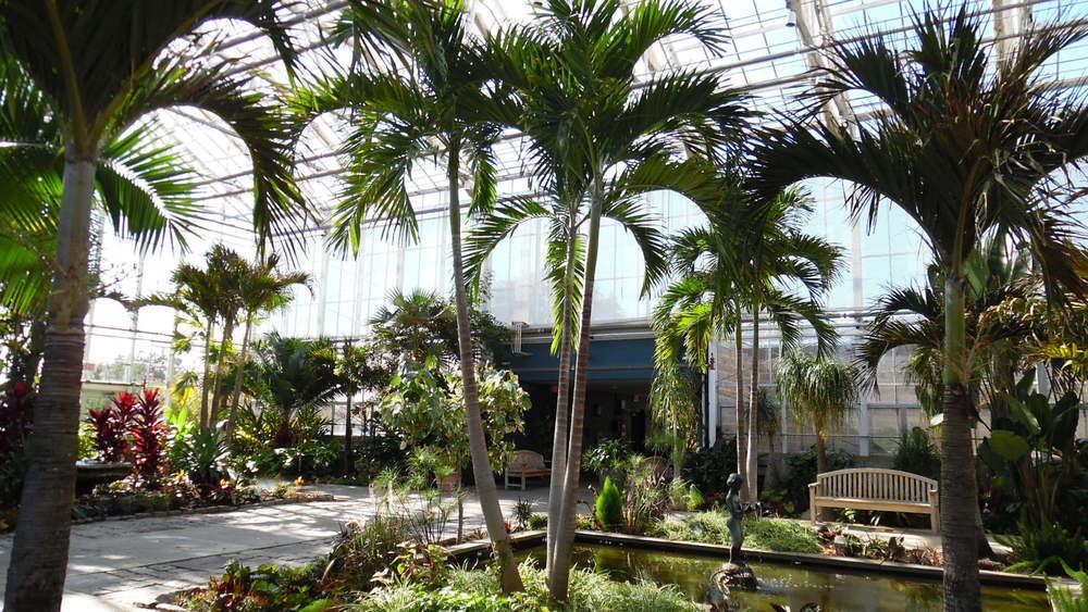 Adonidia merrillii (Christmas Palms)