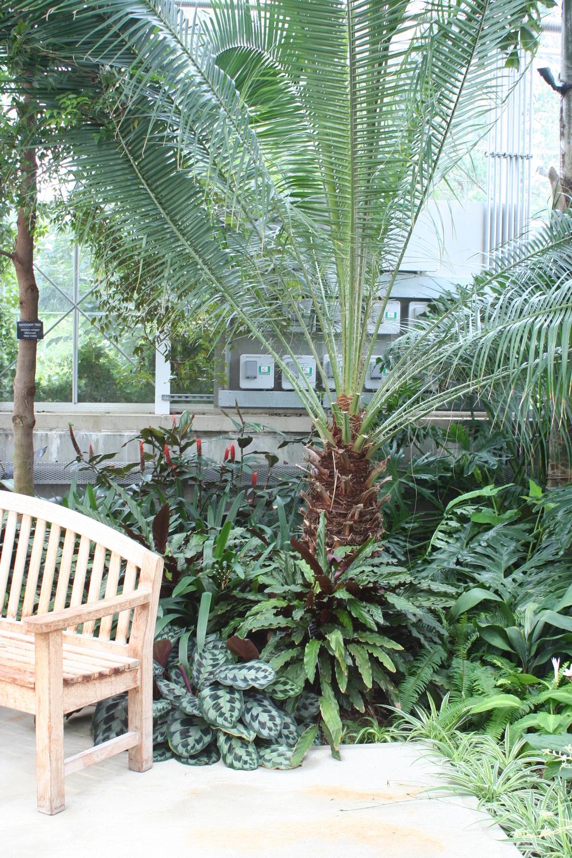 Phoenix roebelenii (Pygmy Date Palm)