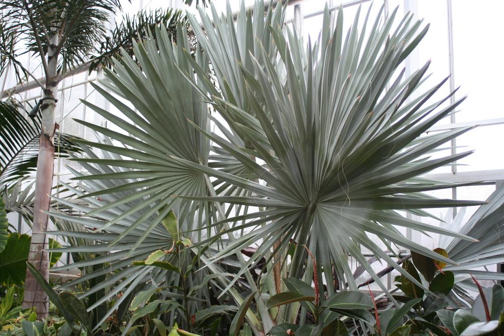 Bismarckia nobilis (Silver Bismark Palm)
