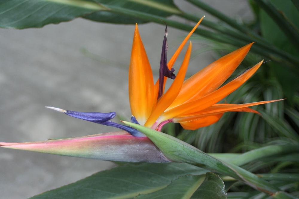 Strelitzia reginae (Bird of Paradise)