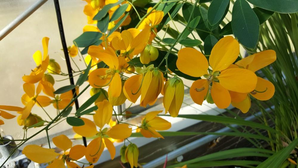 Cassia splendida (Senna 'Golden')