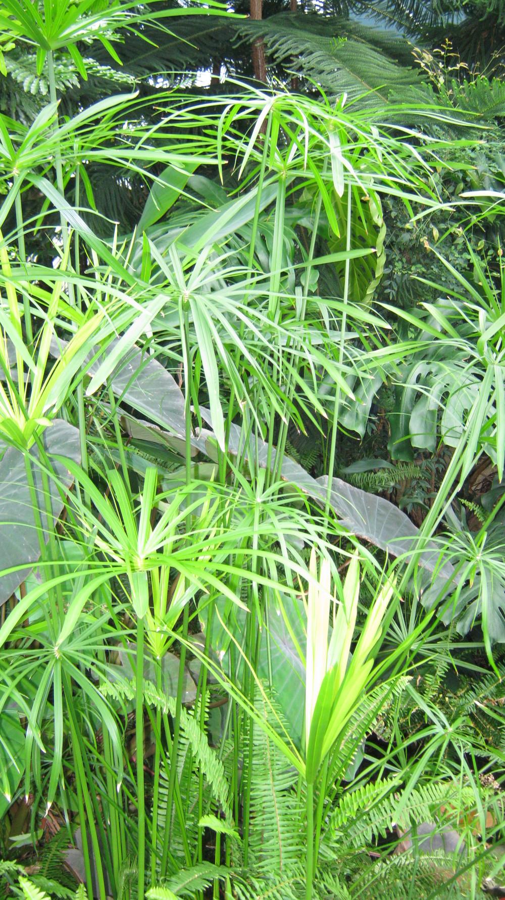Cyperus involucratus (Umbrella Sedge)