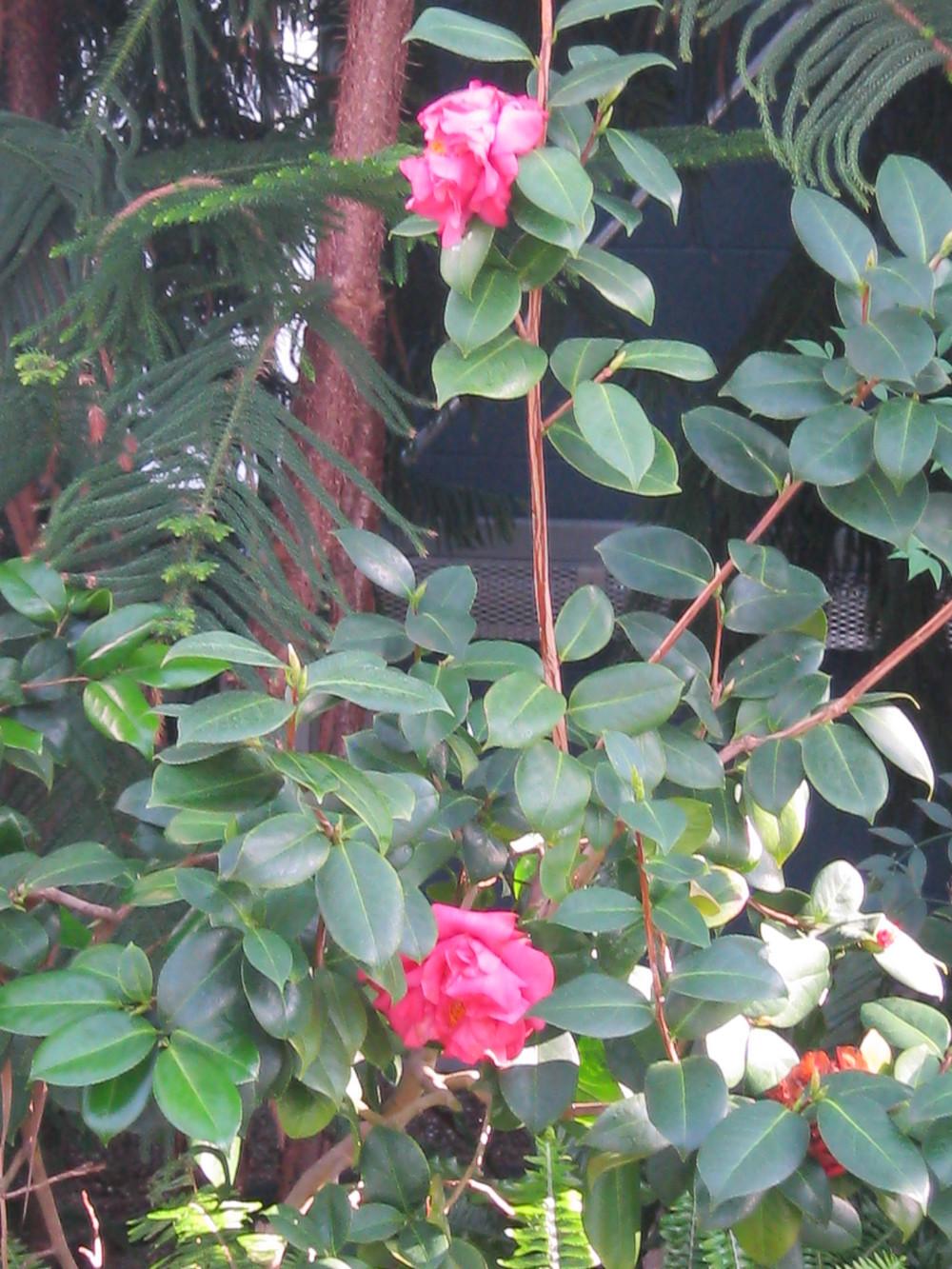 Camellia japonica (Japanese Camellias)