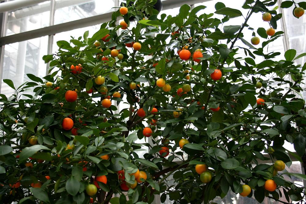 Citrus mitis (Calamondin Orange)