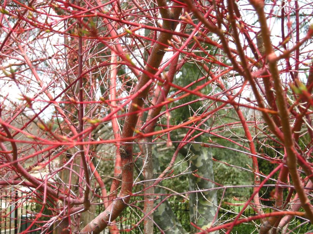 Acer palmatum 'Sango Kaku'  (Coral Bark Maple)