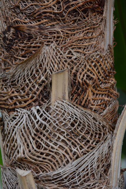 Coccothrinax miraguama (Miraguama Palm)