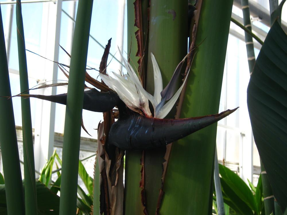 Strelitzia nicolai (White Bird of Paradise)