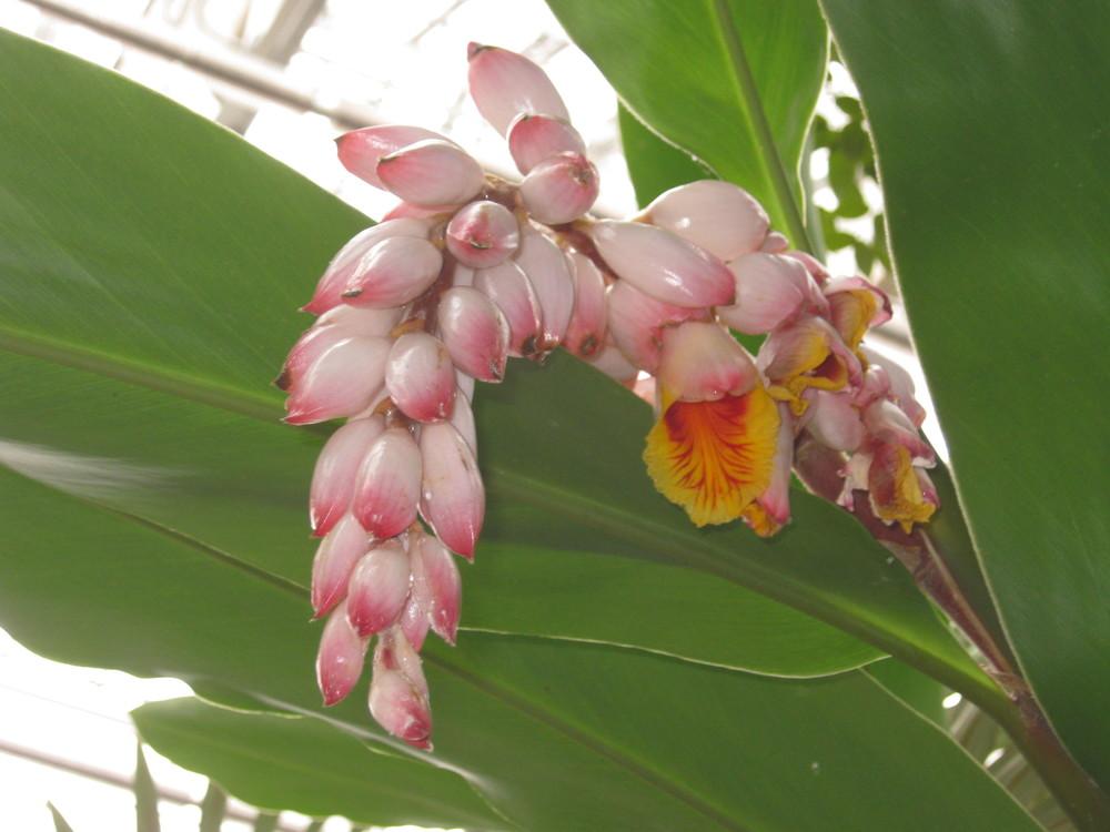 Alpinia zerumbet (Shell Ginger)