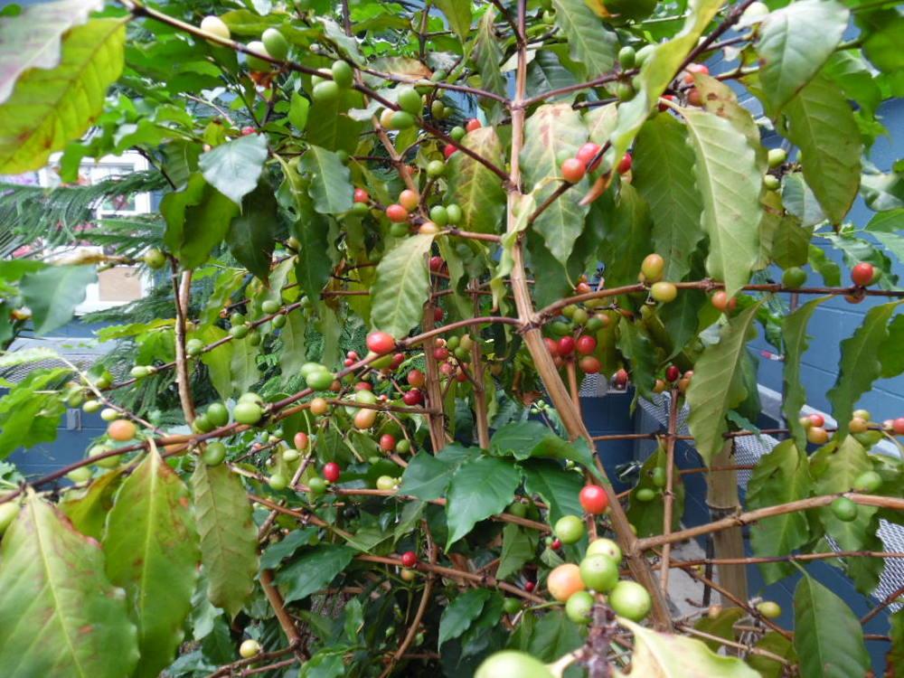 Coffea arabica (Coffee Tree)