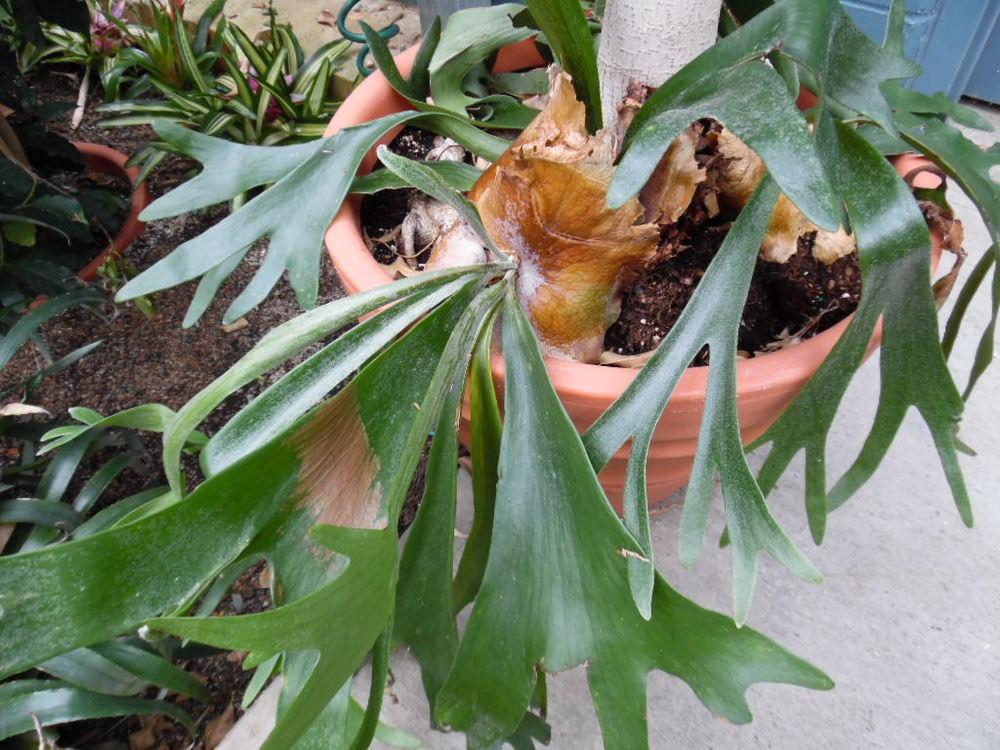 Platycerium bifurcatum (Staghorn Fern)
